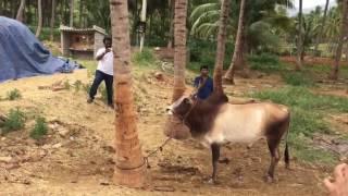 Takkaru Takkaru Bull / டக்கரு டக்கரு காளை