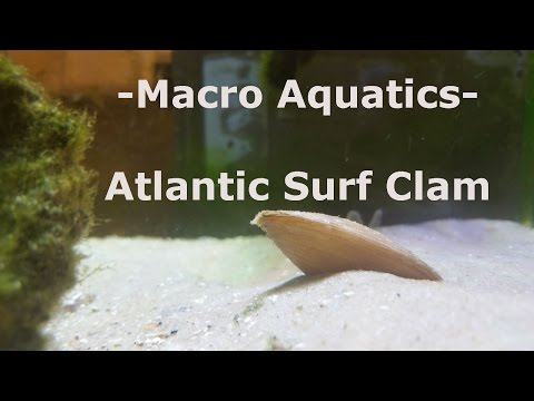 Atlantic Surf Clam Burrowing