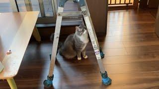 人見知りせず業者さんと一緒に家の点検をする猫 ノルウェージャンフォレストキャットSociable cat. Norwegian Forest Cat.