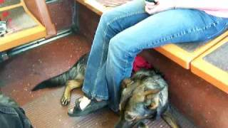 Service Dog Training On A Chapel Hill Transit Bus