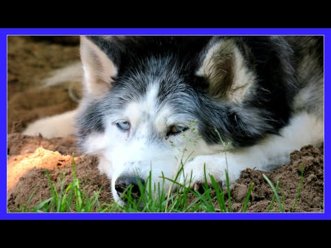 EXPERIENCED HUSKY OWNERS ONLY ?  | #AskGTTSD | Fan Friday 257 Q&A
