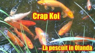 La pescuit in Olanda o balta plina de Crap si Crap Koi