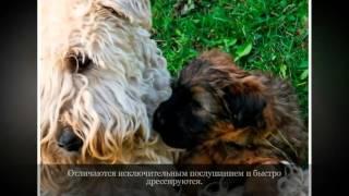 Ирландский мягкошерстный пшеничный терьер Средние породы собак