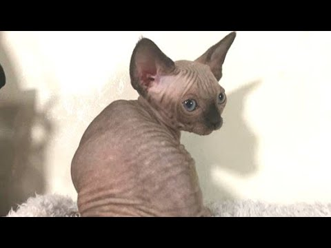 The Cutest Sphynx Cat With Blue Eyes