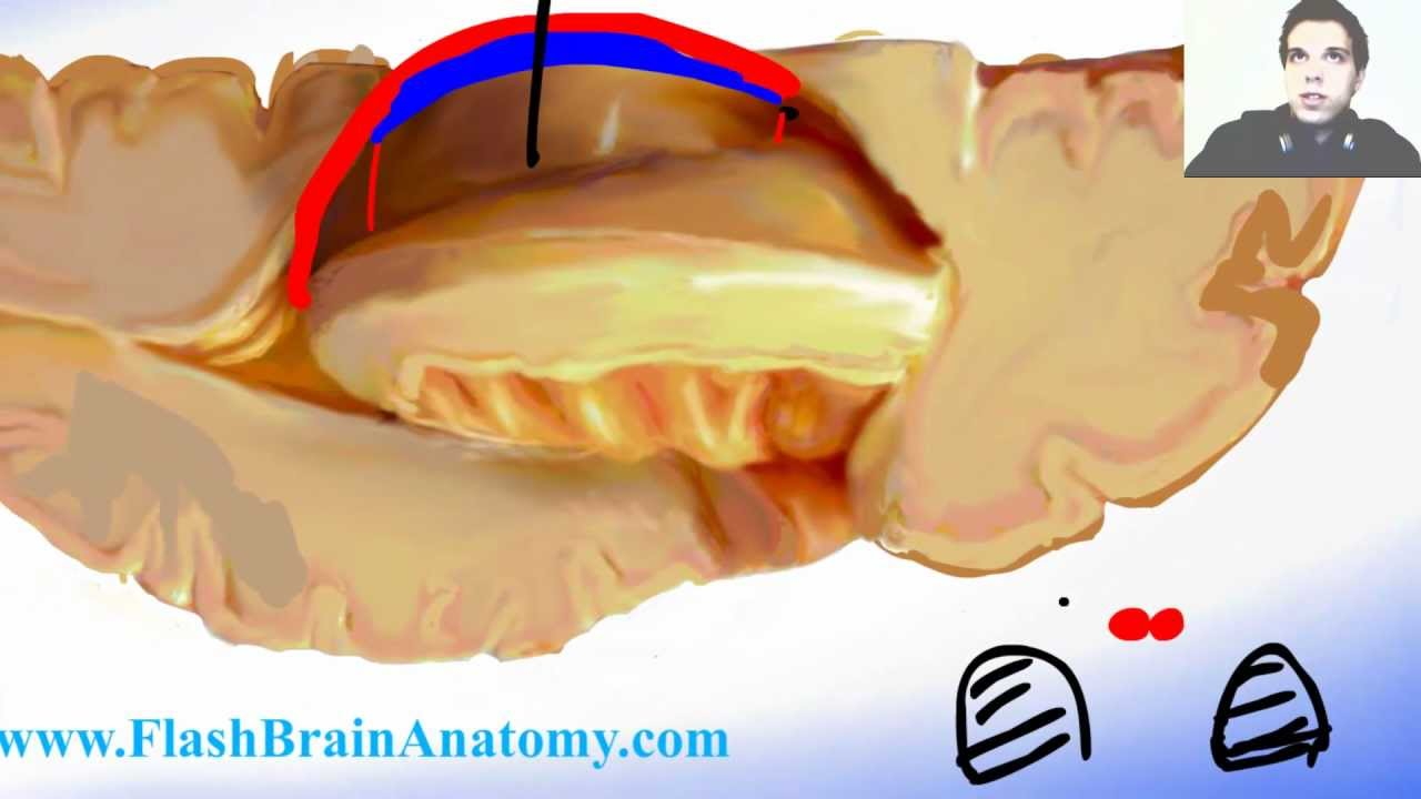 Lateral Ventricle of the Brain - Brain Anatomy - YouTube