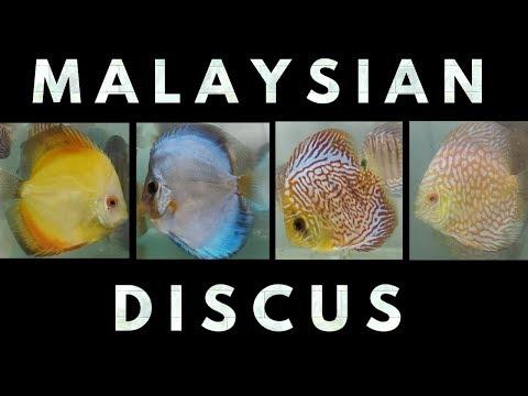 Imported Malaysian Discus Fish At AMart Aquatic World