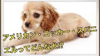 ペットで犬を飼おうと迷っている方へ〜アメリカン・コッカー・スパニエ...