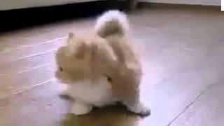 Кот слушает гимн России, стоя на задних лапах/Cat loves Russian national anthem