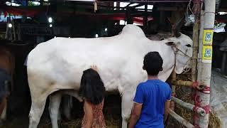 Gambar cover Big White Bulls। ১৬ মণ ওজনের অস্থির বিশাল গরুটির দাম হচ্ছে ৫০০০০০ লক্ষ টাকা।গরুর হাট বাজার ২০১৯।।
