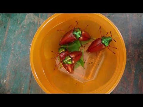 பொன்வண்டு வேட்டைHunting jewel beetle of family.. Sternocera.. part-2