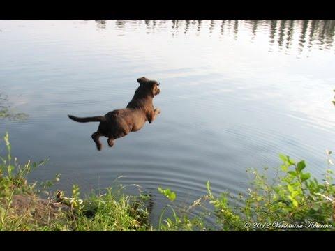 лабрадор собака / смешные картинки и другие приколы