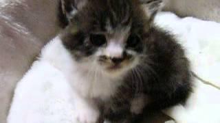 子猫むぎ「アタック」 -MUGI