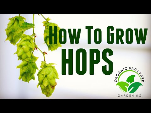 How To Grow Hops In Containers At Home For Beer Brewing - Backyard Growing Hops Guide