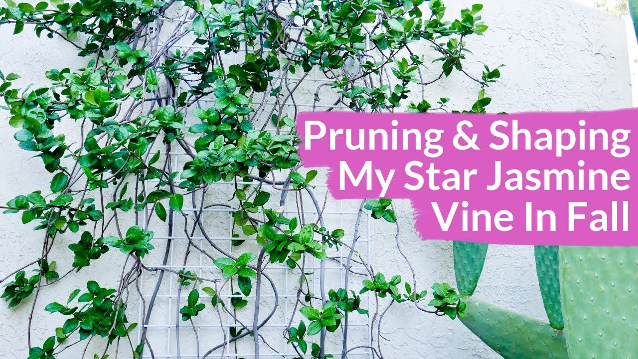 Pruning shaping my star jasmine vine in fall joy us garden youtube pruning shaping my star jasmine vine in fall joy us garden izmirmasajfo