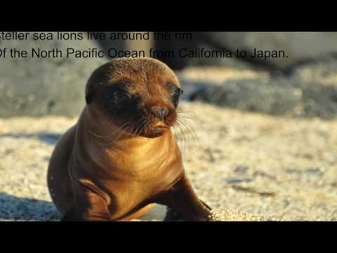 The Steller sea lions Marine Science