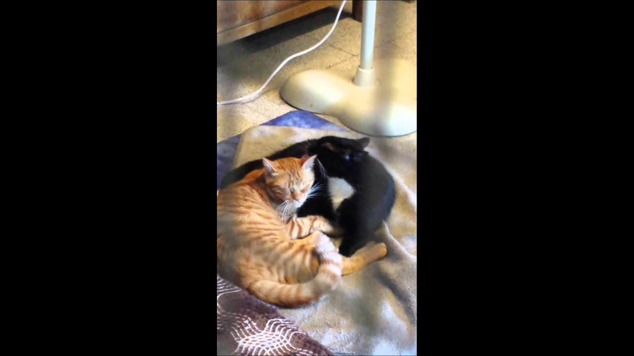 Il Gattone Nero E Bianco Che Lava Il Gatto Rosso Youtube