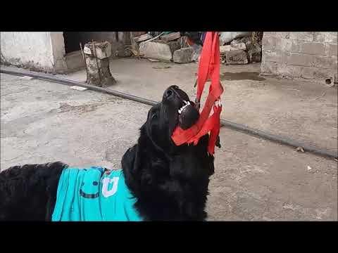 Video #5 ||my cute labrador doing tricks|| cute dog || Black Labrador Retriever