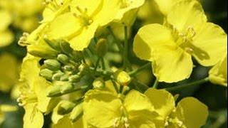 Особенности выращивания рапса. Днепропетровщина