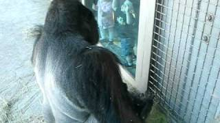 Male gorilla at Dallas Zoo uses tool to get apple
