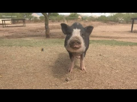 Number Of Potbelly Pigs In Phoenix Needing Homes Is Rising