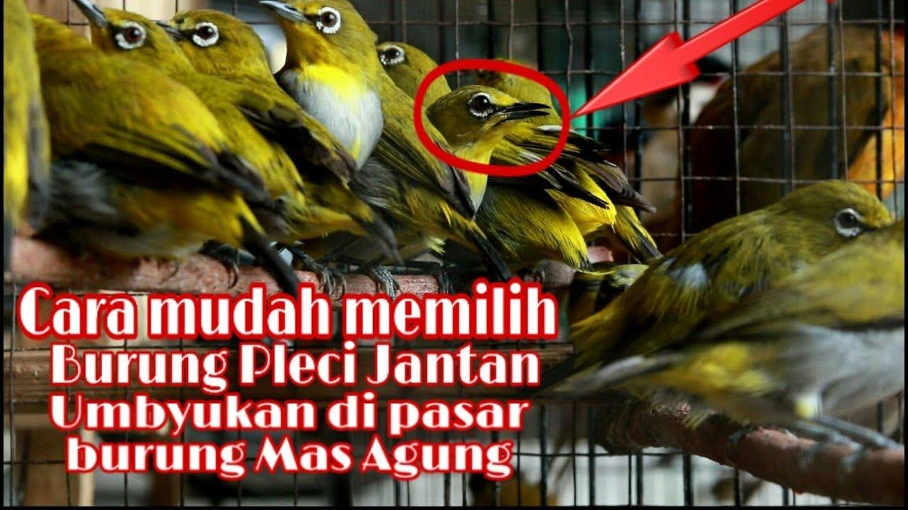 Cara Memilih Pleci Jantan Umbyukan Di Pasar Burung Youtube