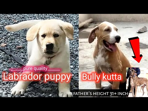 Bully kutta and labrador puppy !  father's height 31+ inch