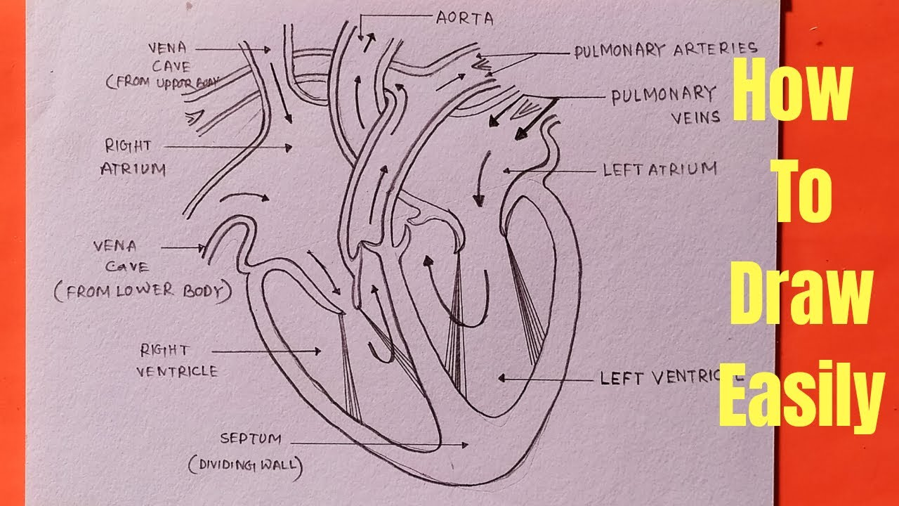 How to draw human heart diagram in easy way - step by step ...