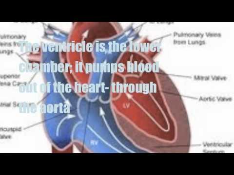 Circulatory System Song with Lyrics