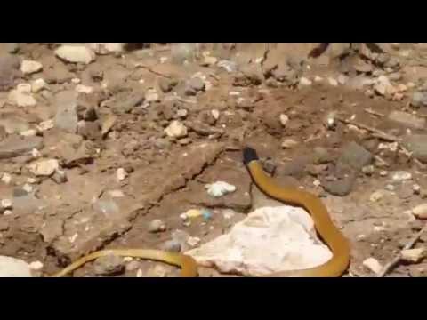 שחור ראש שלווני Black-Headed Ground Snake (Rhynchocalamus melanocephalus)