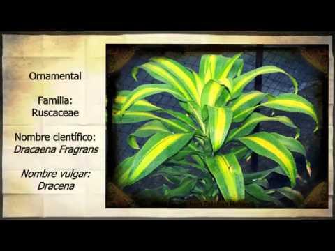 Clasificaci n de plantas herb ceas y ornamentales del for 5 nombres de plantas ornamentales