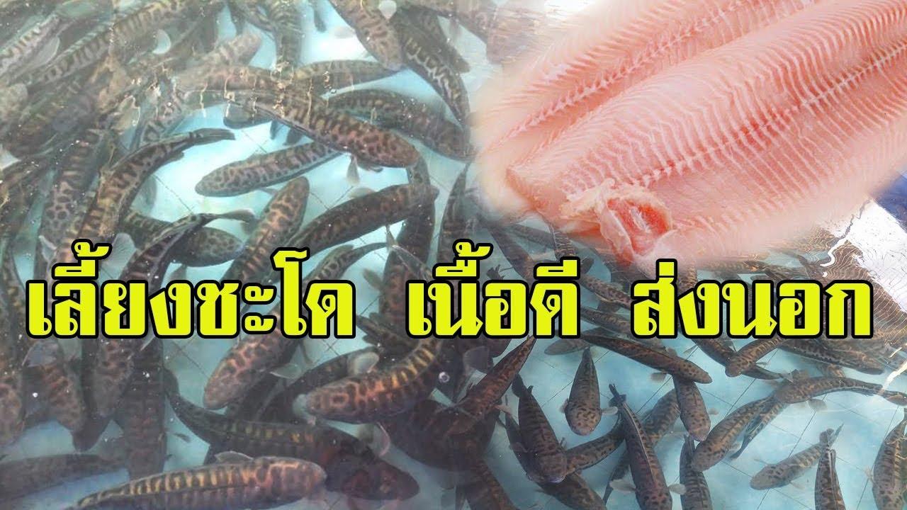 เลี้ยงปลาชะโด | สายพันธุ์เนื้อดี ส่งนอก |