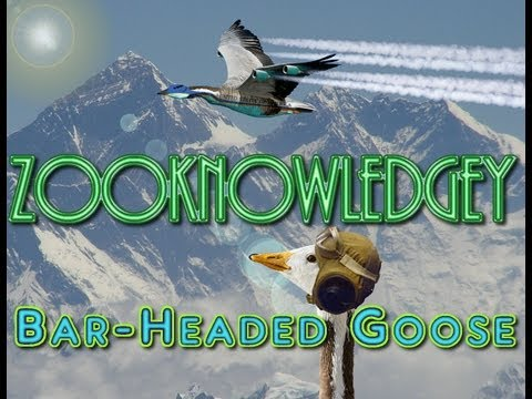Bar-Headed Geese Laugh at Mountain Climbers