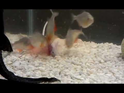 V Mouse Eating Scene 5 piranha eat mouse - ...