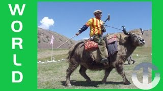 Bizarre Sport of Yak Polo