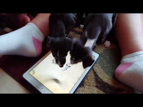 Italian Greyhound Puppies Play iPad Game