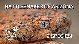 Rattlesnakes of Arizona - 9 species of venomous pit vipers from Sonoran desert