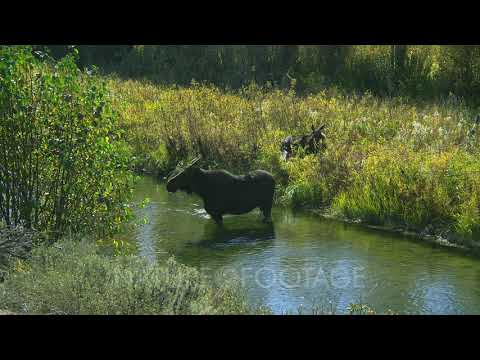 Female Moose And Offspring In Stream