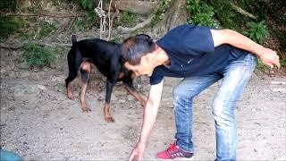 ドーベルマンDoberman(うめ)9日目の家庭訓練犬訓練(物品意欲) 物品...