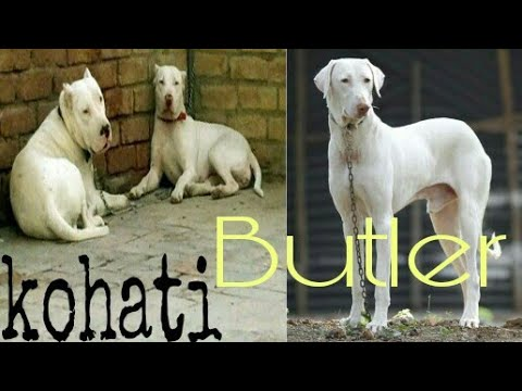 Kohat bulter dogs market with price