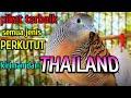 Perkutut Lokal Memanggil Juara Pikat No  Asli Alam Thailand  Mp3 - Mp4 Download