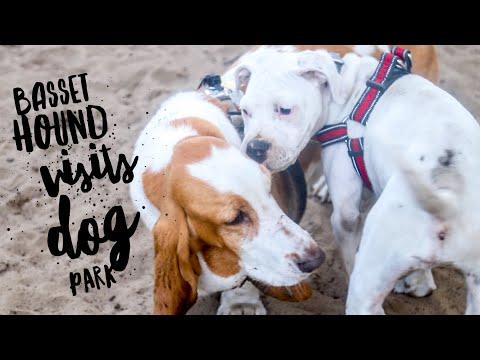 Basset Hound Visits Dog Park