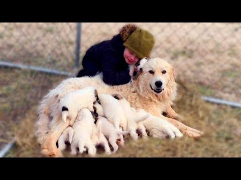 Mom Great Pyrenees Giving Birth To Many Cute Puppies- Life Of Dog Breed