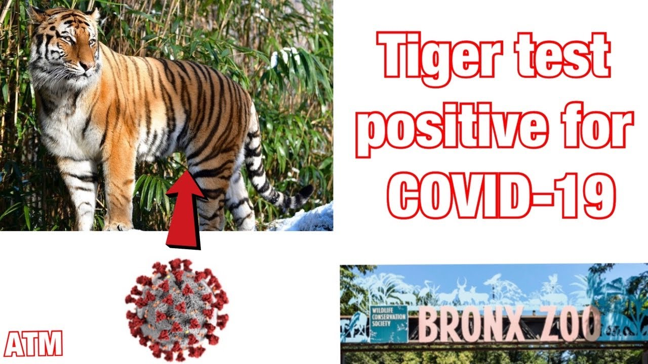 Tiger tests positive for coronavirus at Bronx Zoo, first known case in ...