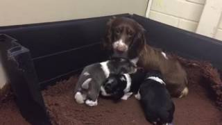 Dachshund Puppies start toilet training