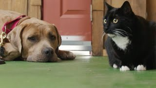 Pitbull is Trained to Meet a Cat