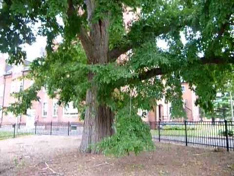 The first Japanese Elm in america