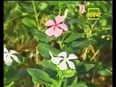 Ayurvedic Benefits of Sadabahar for Ghav | Acharya Balkrishna