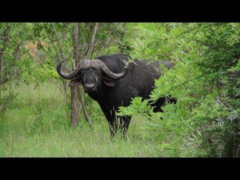 Doodsbenoud buffalo attack