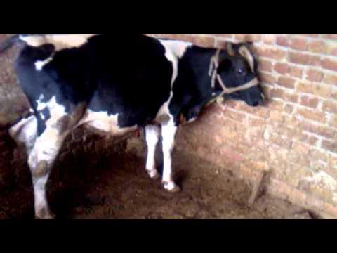awan cattle FAKR E DHANI & RAMboo in Rawalpindi | FunnyCat TV