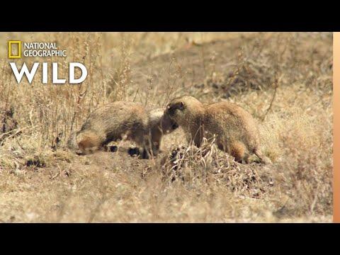 Prairie Dog Mating Season | Prairie Dog Manor